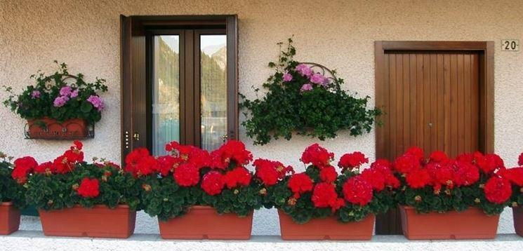 Gerani imperiali coltivati in vasche su un balcone