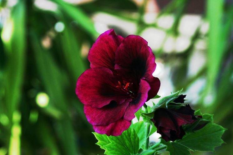 Un fiore di geranio imperiale