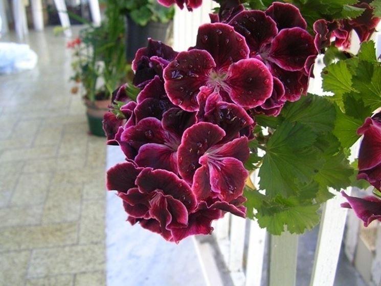 Geranio Imperiale fiori