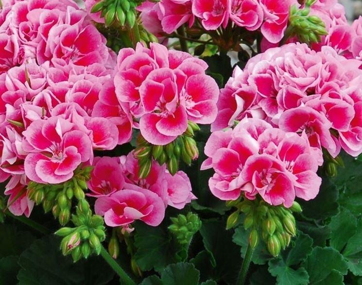Geranio Zonale in fioritura