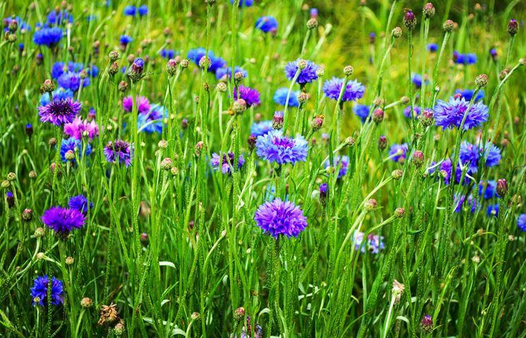Sfumature di blu dei fiori di fiordaliso