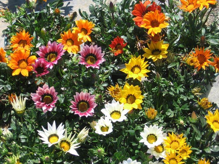 La gazania in fiore