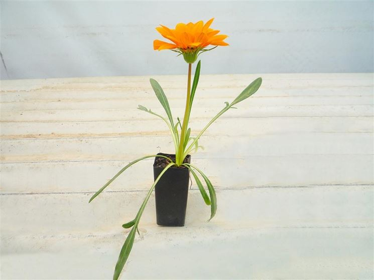 gazania in vaso