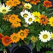 gazania fiore