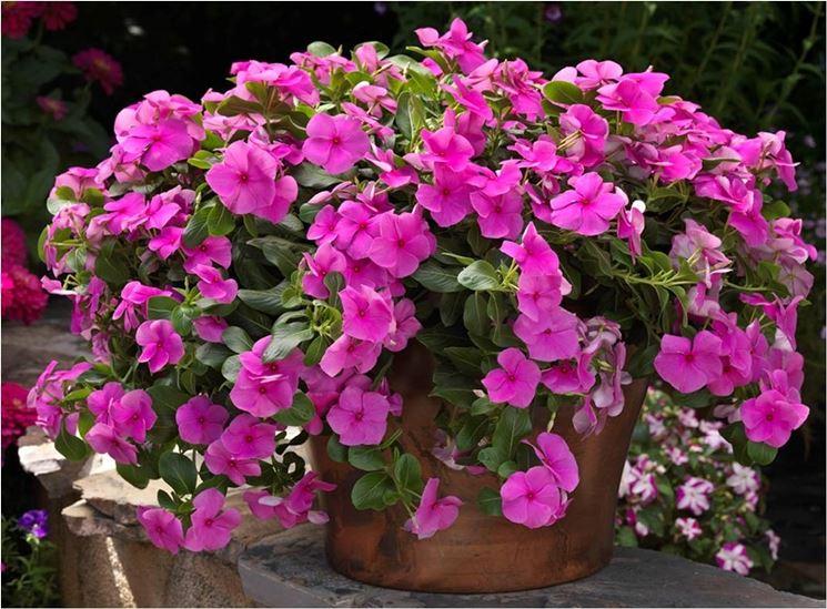 La pianta erbacea in un vaso