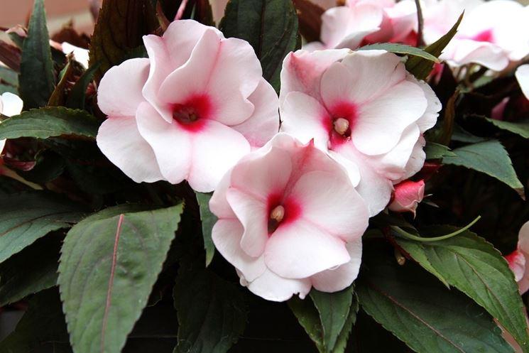 Dei bellissimi fiori di nuova guinea dai colori sfumati