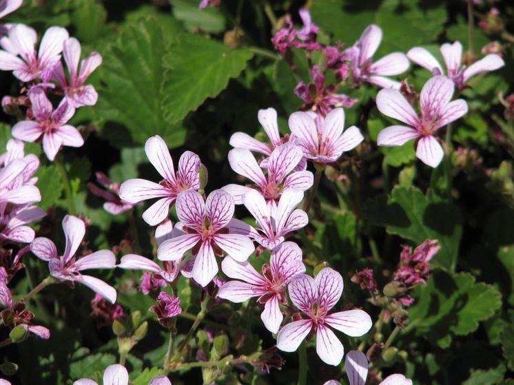 Variet� di pelargonium odoratissimum