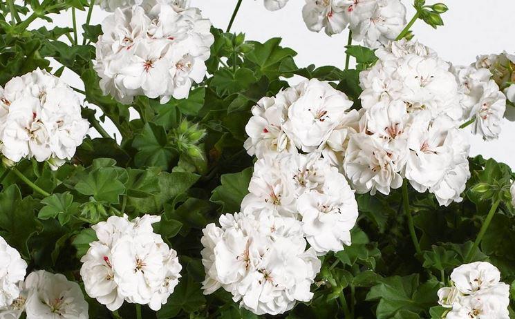 Variet� di pelargonium peltatum