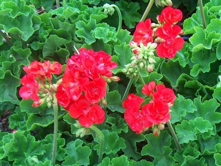 Varietà di pelargonium hortorum