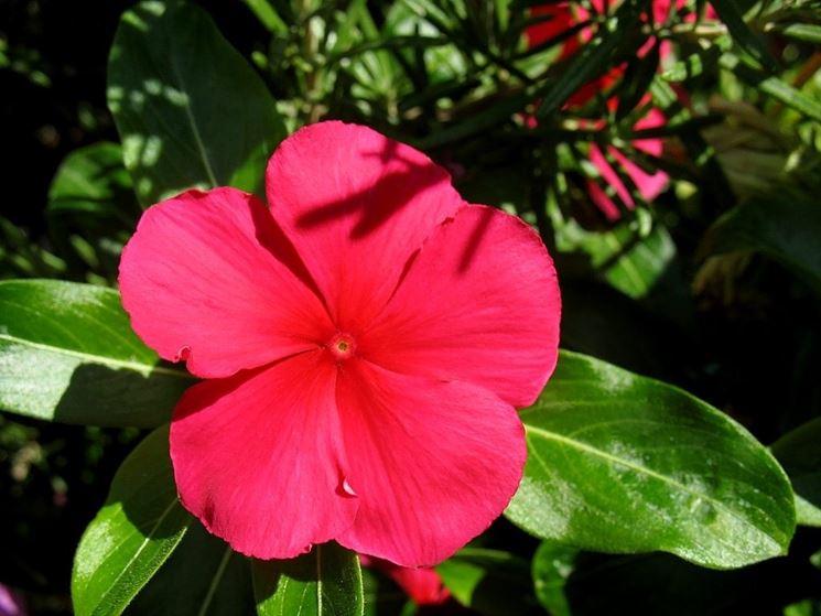 Fiore di pervinca