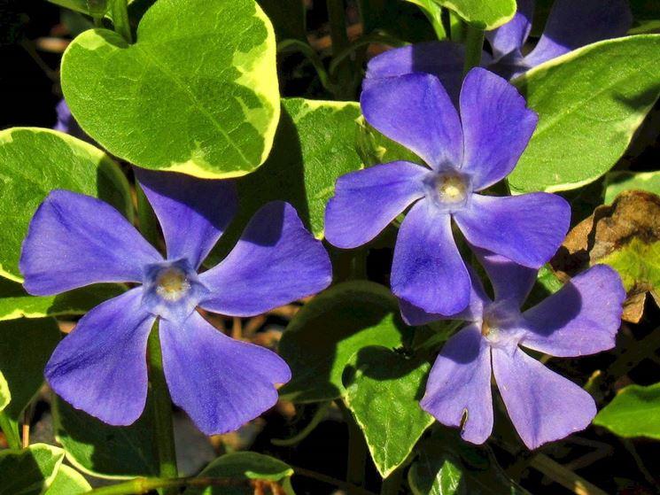 pervinca fiori