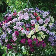 pianta di petunia