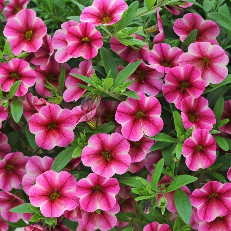 fiori rosa petunia