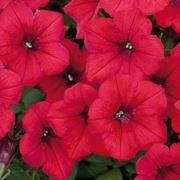 Surfinia a fiori rossi