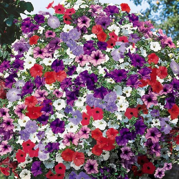 Petunie e surfinie piante annuali caratteristiche di for Surfinia balcone