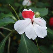fiore nuova guinea