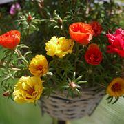 Portulaca a fiori viola