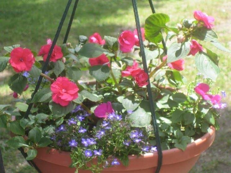 Portulaca coltivata in vaso