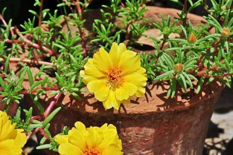 Un esemplare di portulaca perenne coltivata in vaso