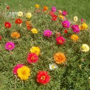 portulaca fiore