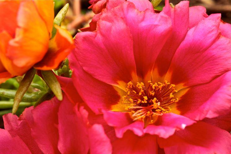 Fiore rosa di Portulaca
