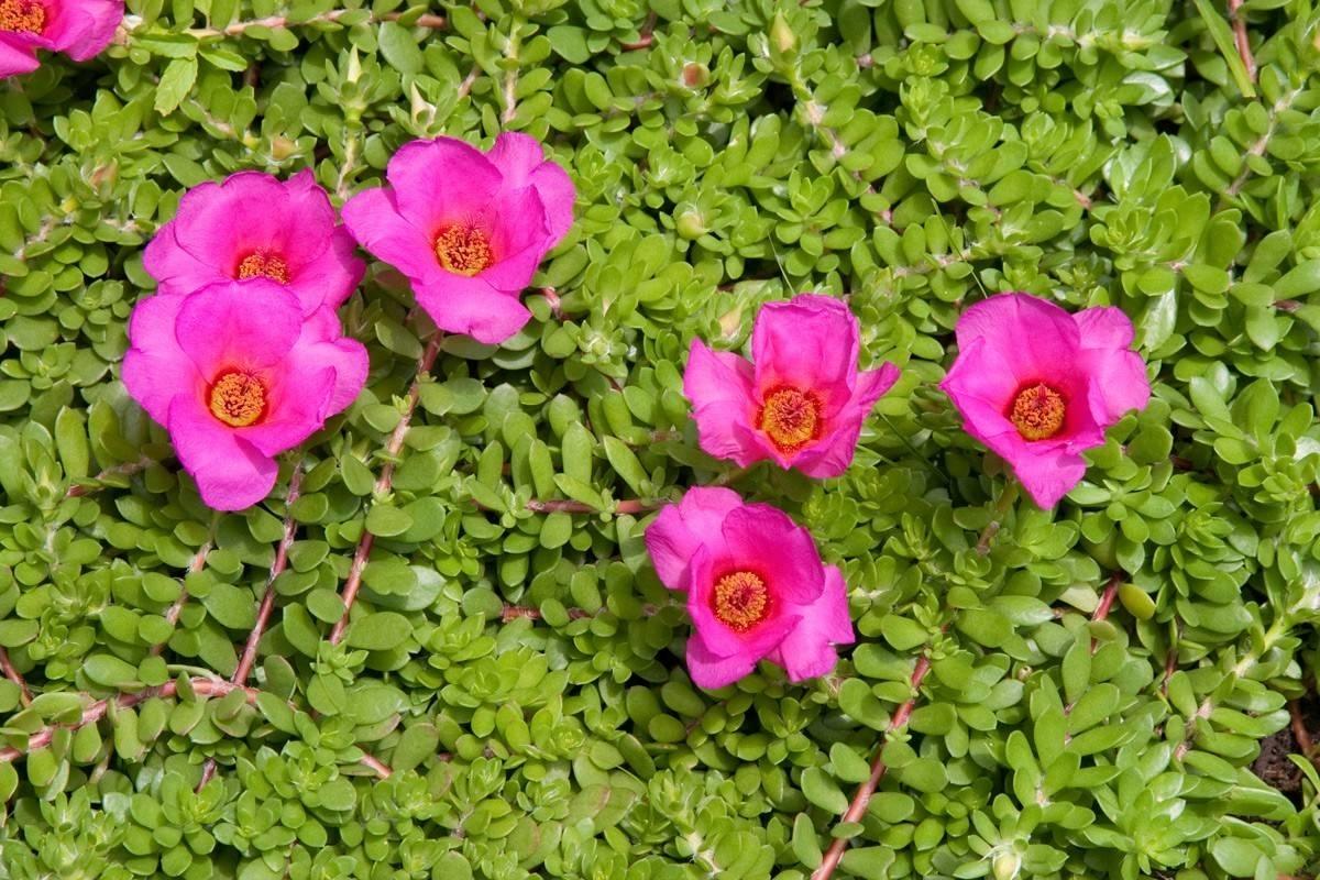 Portulaca piante annuali for Piante annuali