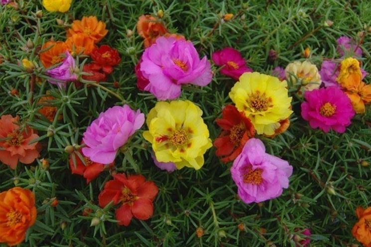 fiori di portulache