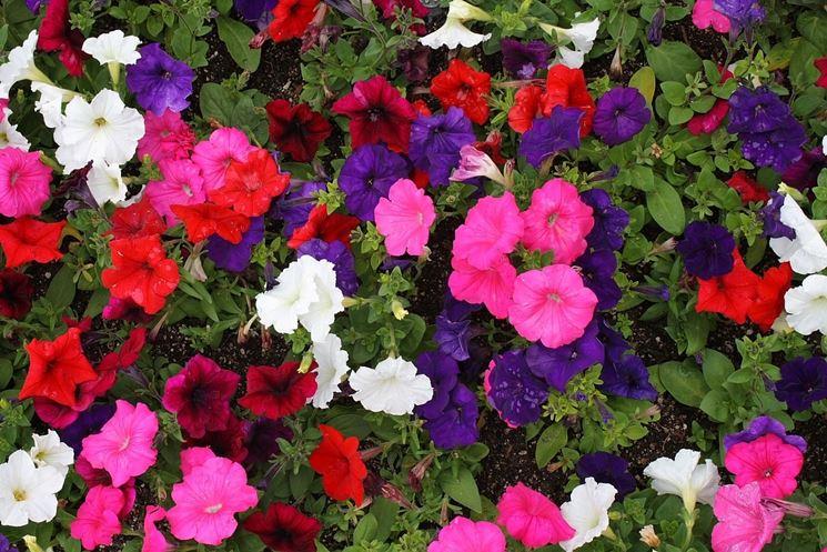 Potunia piante annuali petunia for Petunie perenni