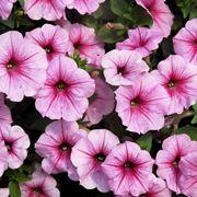 Petunie rosa