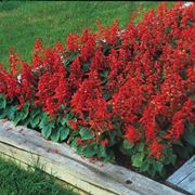 Piante di salvia splendens dai tipici fiori rossi