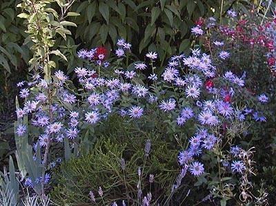 Settembrini piante annuali - Aster pianta ...