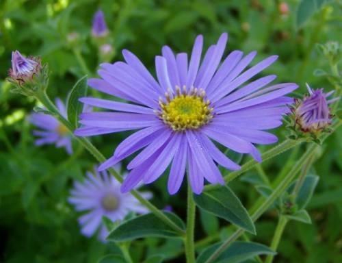 Settembrini piante annuali - Settembrini fiori ...