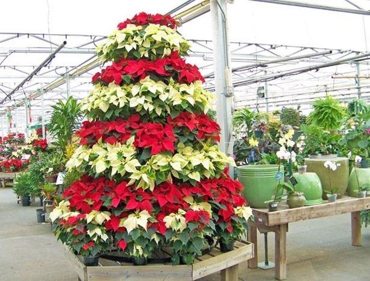 Significato Della Stella Di Natale.Stella Di Natale Cura Piante Annuali Cura La Tua Stella Di Natale