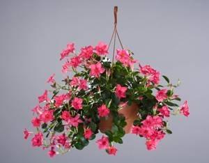 Sundevilla piante annuali for Dipladenia malattie