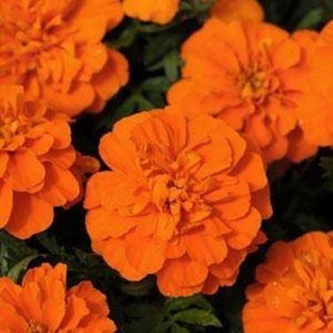 tagete arancione
