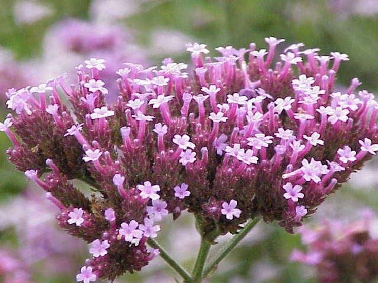 Verbena in fiore