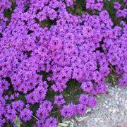 Piante annuali a fiore verde - Verbena pianta ...