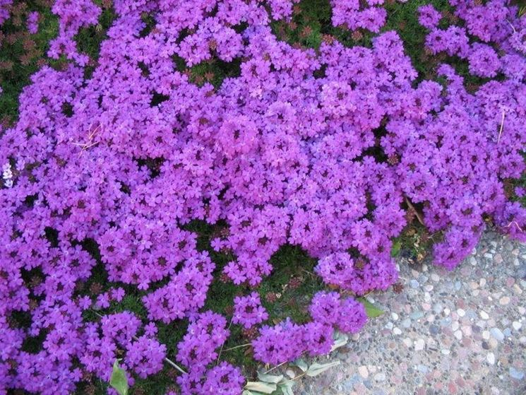 Verbena piante annuali for Verbena pianta