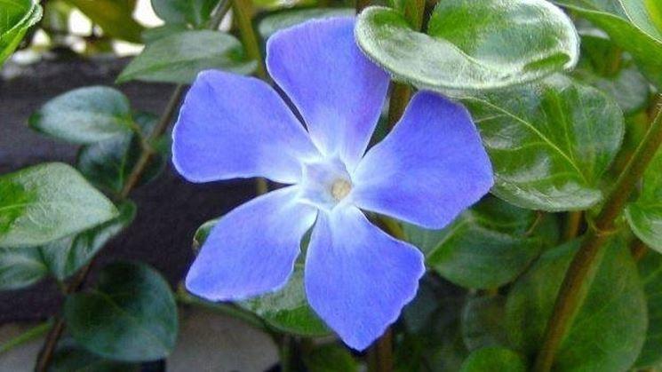 Un esempio di fiore di vinca minor
