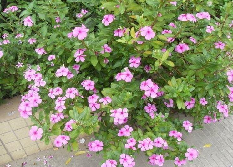 Un esemplare di vinca dai fiori rosa