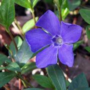 fiore vinca