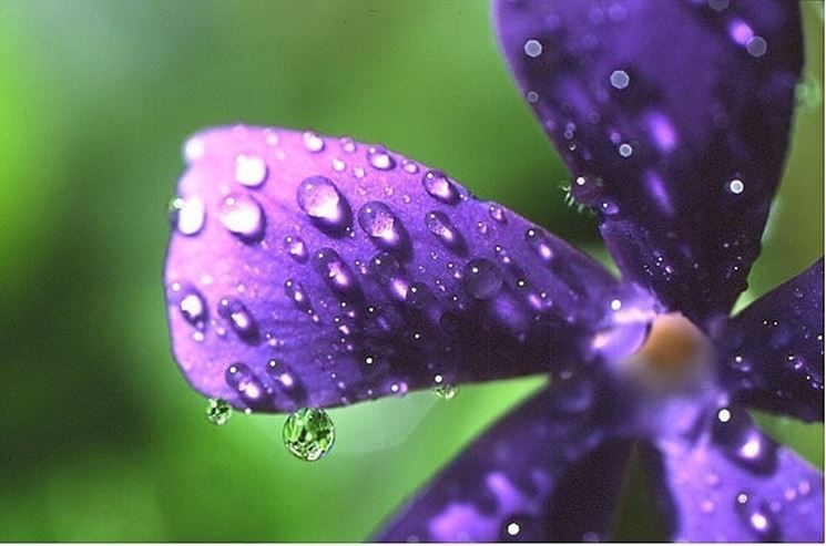 fiore di vinca