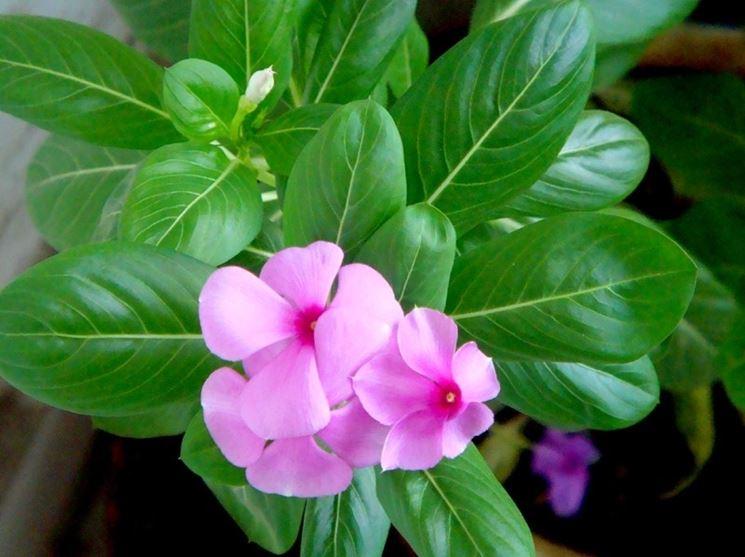 vinca pianta piante annuali vinca pianta per giardino