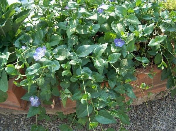 Vinca pianta piante annuali vinca pianta per giardino - Piante grasse da esterno pendenti ...