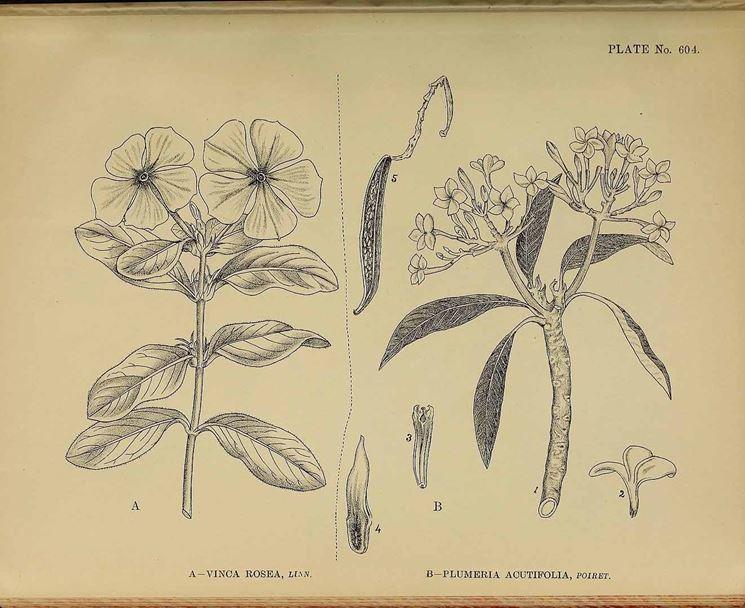 Illustrazione botanica della Vinca rosea