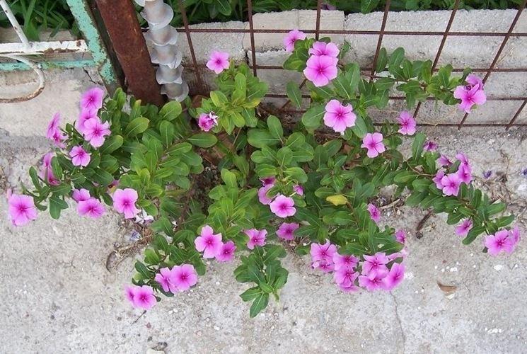 Pianta di Vinca rosea, o Catharanthus roseus