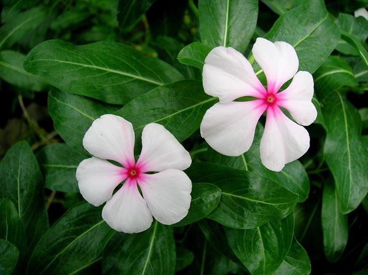 Fiori bianchi di Vinca rosea