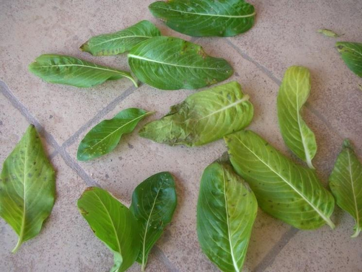 Foglie di Vinca rosea cadute per via dei parassiti