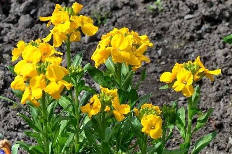 Violacciocche gialle