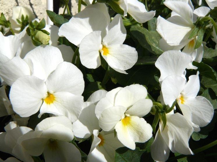 viole bianche